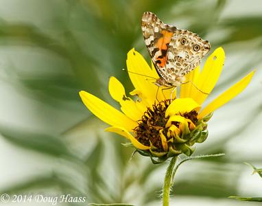 Painted Lady Butterfly Vanessa cardui on prairie Sunflower in Deer Park