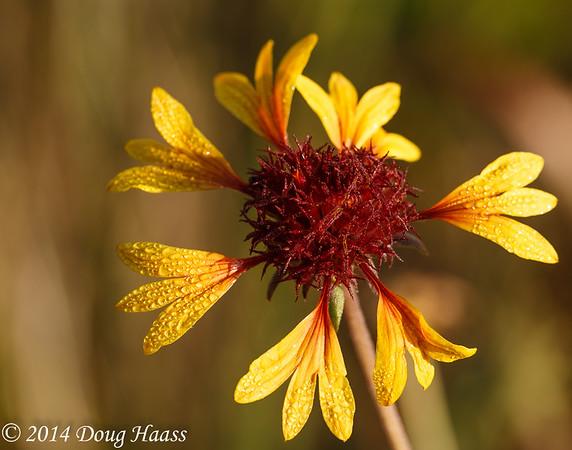 Prairie Gaillardia (Gaillardia aestivalis) flower in dew after sunrise