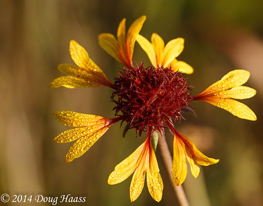 Prairie Gaillardia (Gaillardia aestivalis) flower in dew after sunrise