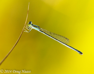 Fragile Forktail Damselfly in Dew