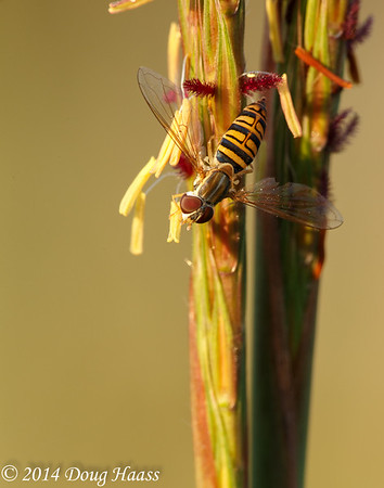 Yellow Jacket Hoverfly (Milesia virginiensis) on Big Bluestem (Andropogon gerardi) #3