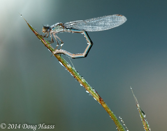 Damselfly in morning dew at sunrise