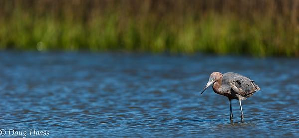 Reddish Egret with minnow
