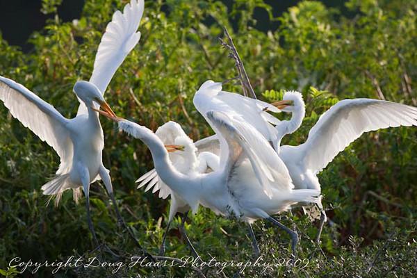 Great White Egret feeding frenzy