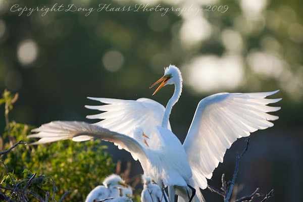 Great Egrets with chicks