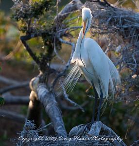 Great Egret in breeding plumage tending nest