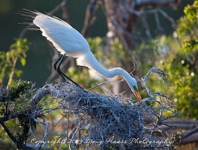 Great White Egret tending nest