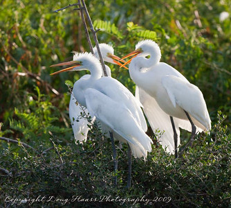 Young Great Egrets