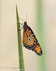 Queen Butterfly Danaus gilippus