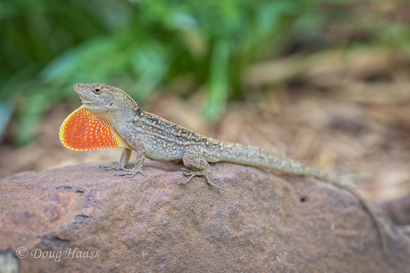 Brown Anole male, backyard 5/18/2020