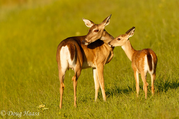 White-tailed deer doe and her fawn