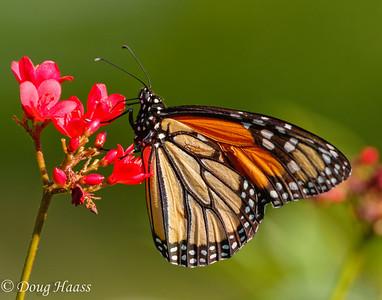 Monarch Butterfly Danaus plexippus taken 9/29/2016 in my back yard in Deer Park, TX.