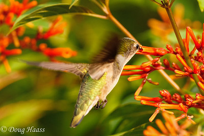 Ruby-throated hummingbird Archilochus colubris.
