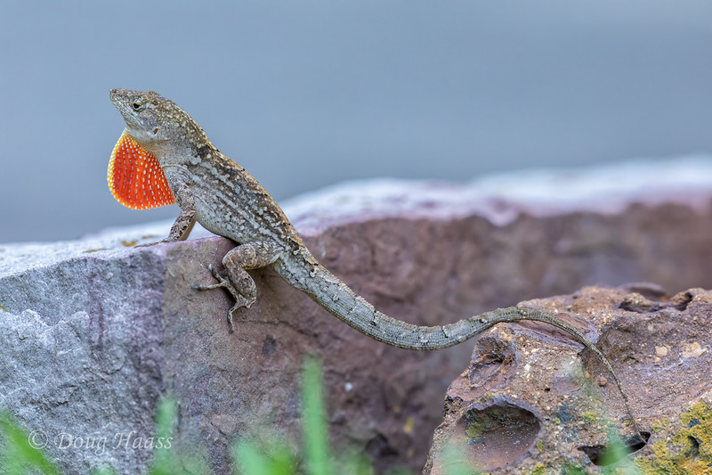 Brown Anole male, backyard 5/19/2020