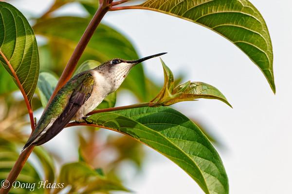 Ruby-throated hummingbird Archilochus colubris.