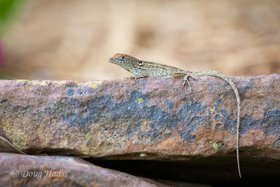 Brown Anole female, backyard 5/20/2020