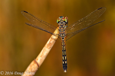 Blue Dasher female Pachydiplax longipennis dragonfly with flash