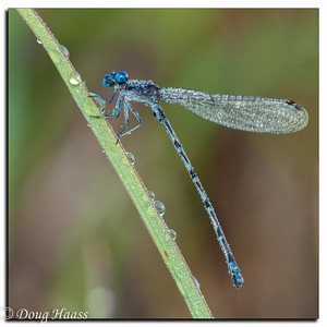 Unidentified damselfly taken at Boggy Bayou