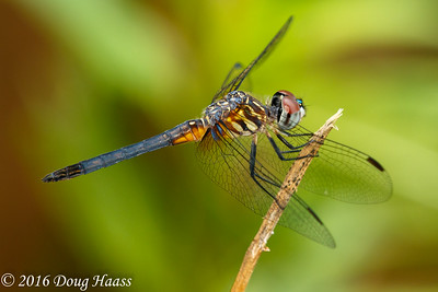 Blue Dasher male Pachydiplax longipennis dragonfly