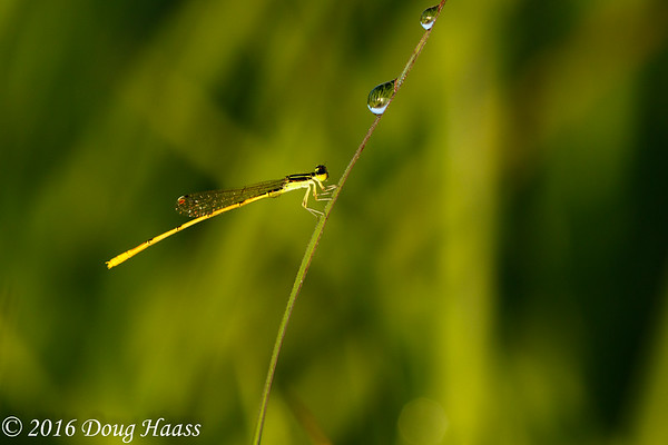 Citrine Forktail Ischnura hastata male damselfly