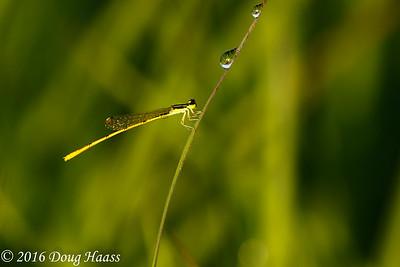 Citrine Forktail Ischnura hastata male damselfly