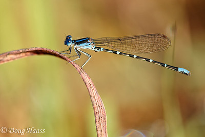 Blue-ringed Dancer Argia sedula male taken at Boggy Bayou