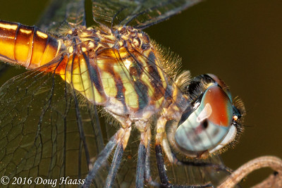 Blue Dasher female Pachydiplax longipennis dragonfly
