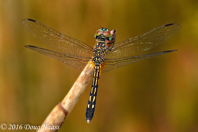 Blue Dasher female Pachydiplax longipennis dragonfly in natural light