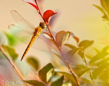 Male Wandering Glider Pantala flavescens dragonfly in my yard, Deer Park, TX