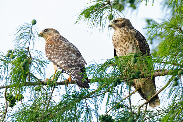 Red-shouldered Hawk adult and fledgling (on right) 6/01/2019