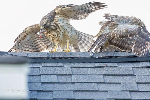 Red-shouldered Hawk fledglings arguing over food 6/01/2019