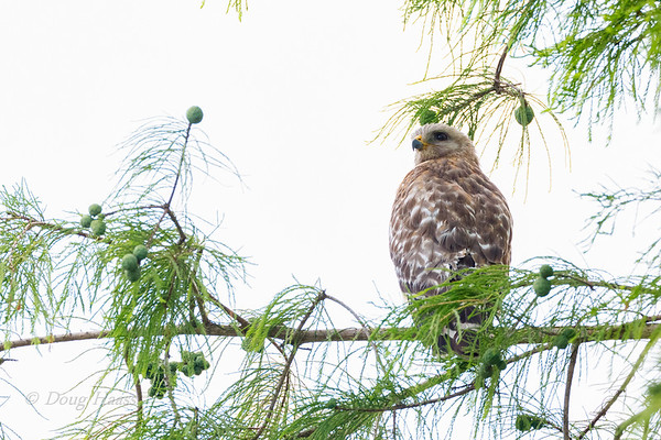 Adult Red-shouldered Hawk from a nest site nearby 5/27/2019.