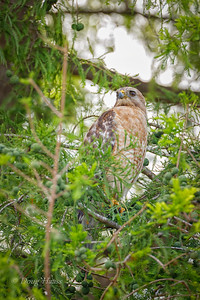 Adult Red-shouldered Hawk from a nest site nearby 5/27/2019.  This is the mate of the previous shot.