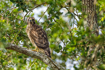 Red-shouldered Hawk fledgling (1 of 3) from a nest site nearby 5/27/2019.