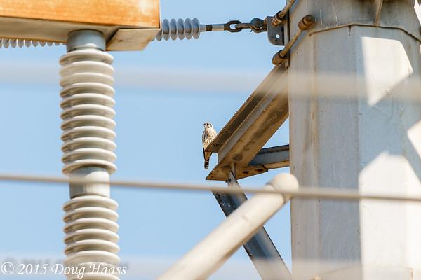 American Kestrel male Falco sparverius