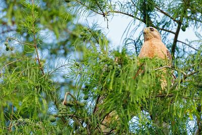 Adult Red-shouldered Hawk 6/01/2019