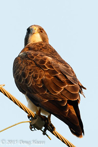 Swainson's Light Morph Adult male Hawk