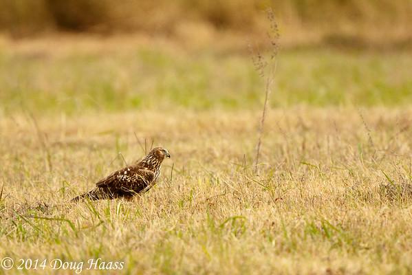Adult Female Northern Harrier Circus cyaneus