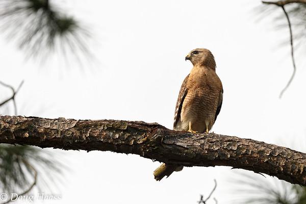 Male Red-shouldered Hawk 4/13/2017.