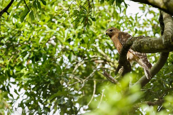 Male Red-shouldered Hawk 4/2017.