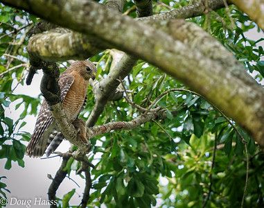 Male Red-shouldered Hawk with rabbit for female and chick's dinner 4/13/2017