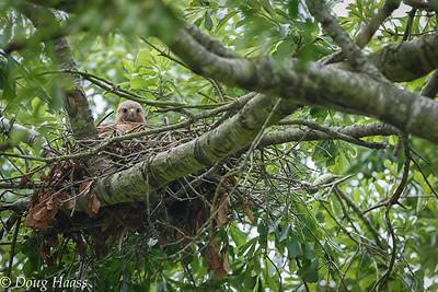 Female Red-shouldered Hawk 4/2017.