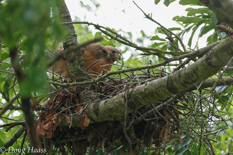 Male and female Red-shouldered Hawk on nest