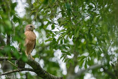 Male Red-shouldered Hawk 4/12/2017.