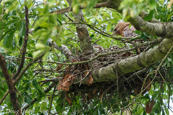 Red-shouldered Hawk Female and chick on nest 4/13/2017.