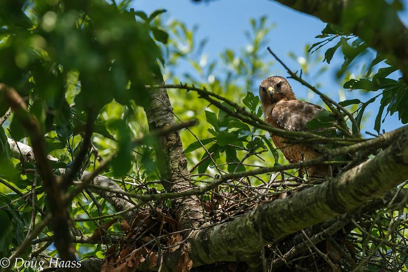 Red-shouldered Hawk 4/2017.