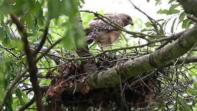 Red-shouldered Hawk on nest 4/2017.