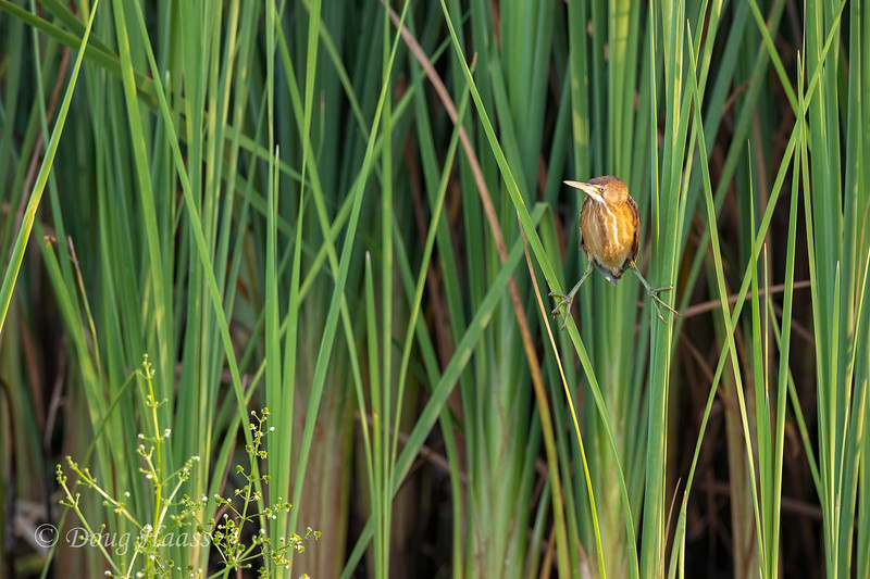 Least Bittern doing the splits in the tall grasses just off the auto loop, 7/18/2020.