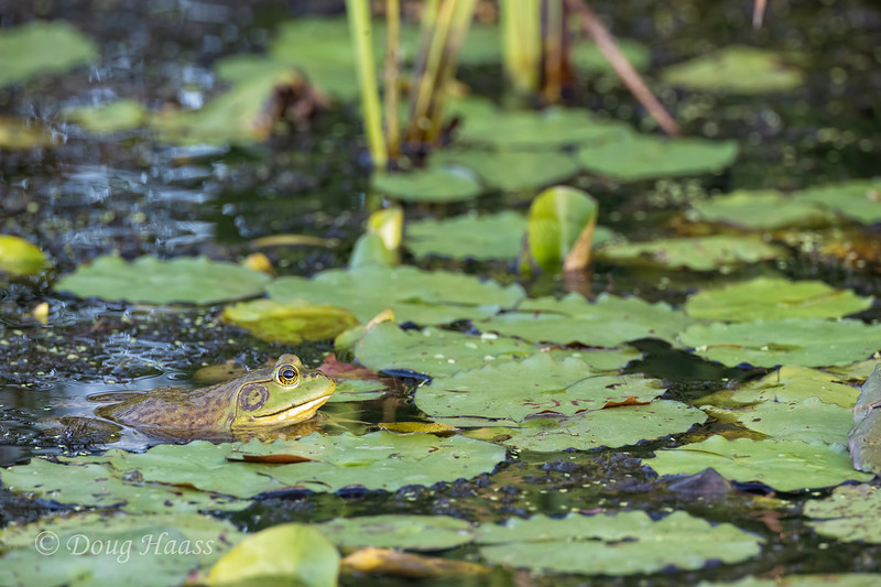 American Bullfrog in the canal that runs parallel to the road, 7/18/2020.