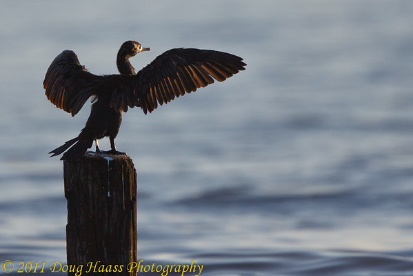 Cormorant basking in early morning sun and drying its wings